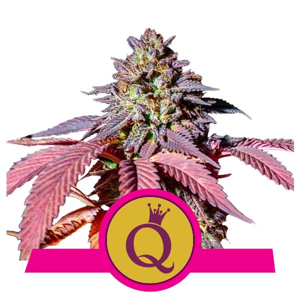 Purple_Queen_600x600px