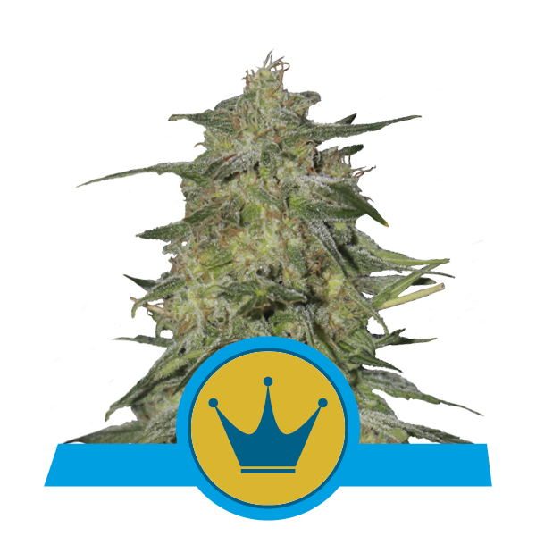 Royal Highness_600x600px63