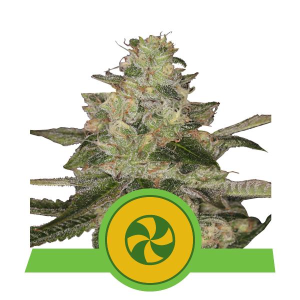 600x600px pics_plants2020_SweetZZAuto