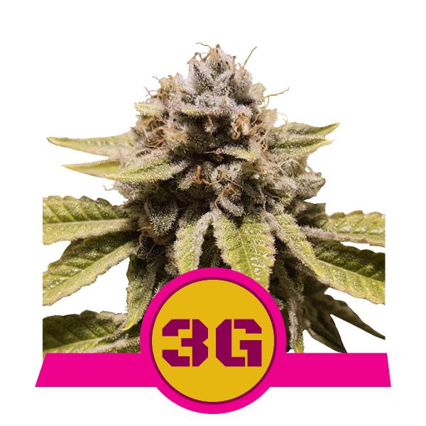 600x600px pics_plants2020_TripleG