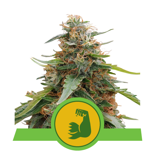 600x600px pics_plants20201_HulkBerryAuto