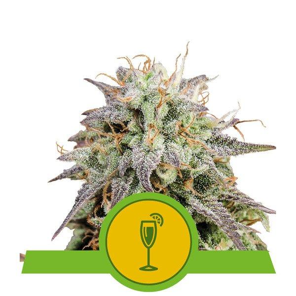 mimosa-automatic